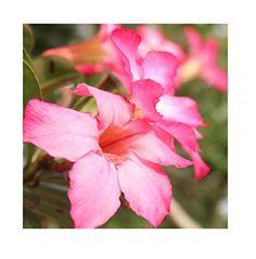Wüstenblume Desert Rose Dreamlife https://www.amazon.de/dp/B01J1AU9BO/?m=A105NTY4TSU5OS