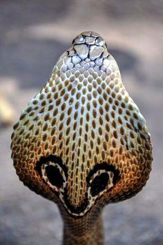 Das ist eine Kobra, man nennt sie auch Brillenschlange. Der Biss dieser Schlange ist sehr giftig.