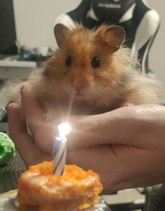 "Shrimpy Donovan turned 1 so we made a carrot ""cake"" :) Fluffy Animals, Animals And Pets, Baby Animals, Cute Animals, Hamster Pics, Baby Hamster, Funny Hamsters, Syrian Hamster, Cute Memes"