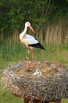 White Stork Nest - this bird arrives in most of Europe just before Easter and symbolizes spring and life! That's how it became the symbol for baby's arrival in several country. Love Birds, Beautiful Birds, Nicolas Vanier, Nester, Animals And Pets, Cute Animals, Tier Fotos, Big Bird, Bird Pictures