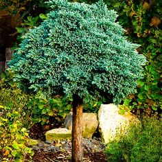 Blue Star Juniper Tree | The Tree Center™ I love the idea of training this to a standard for a little extra architecture with some openess