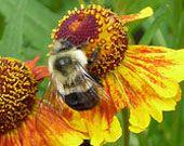 Conserving Pollinators:  A Primer for Gardeners