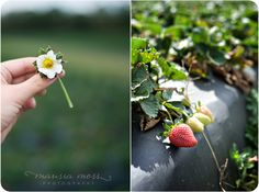 out and about at wishnatzki farms... a strawberry bloom and berry.