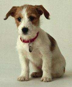 Jack russel puppy so cute!