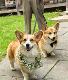 The Daily Corgi: With This Corgi, I Thee Wed: Jaclyn & Joe!