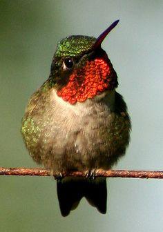 ruby-throated hummingbird (photo by a crrepin malaise)