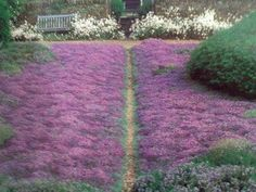 Thyme is a drought resistant plant that is a beautiful shade of purple. Save water and glam up your lawn at the same time! While a little foot traffic won't hurt, you should set up a walking path through the thyme to keep from damaging the plants.