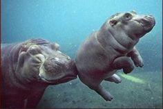 Mamá y cría hipopótamo