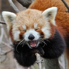 A laughing red panda sitting up in a tree branch.