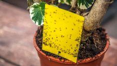 Blumenerde fliegen fliege erde lifehack tipps for Kleine fliegen an zimmerpflanzen