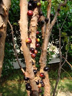 Otherwise known as the Brazilian Grape Tree, the Jabuticaba plant is native to South America, notably Paraguay, Argentina and (obviously from its name) mostly from Brazil.  The fruit, a succulent looking purple color can be plucked and eaten straight from the tree.