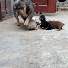 """Mi piace"": 1,149, commenti: 25 - pitbullofig (@pitbullofigs) su Instagram: ""Big boy 🏃 ❤️ tag your friends ❤️ who loves Pitbull 👉👉Follow us @pitbullofigs 👉👉Follow us…"" Nature Animals, Animals And Pets, Cute Animals, Cute Puppies, Dogs And Puppies, Big Boys, Make Me Smile, Pugs, Pitbulls"