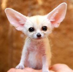 Fennec Fox Kit --- This photo single handedly introduced ZooBorns to new visitors. Twice as popular as our friend the mouse deer, this fennec fox kit from Korea's Everland Zoo, has since become the ZooBorns' mascot. Photo credit: In Cherl Kim Cute Baby Puppies, Cute Baby Animals, Animals And Pets, Cute Babies, Funny Animals, Wild Animals, Desert Animals, Nocturnal Animals, Animals Kissing