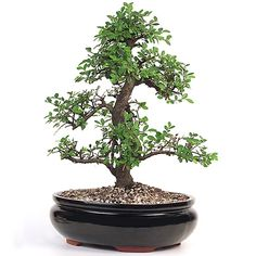 Spread your love for Eastern Leaf!  Large Chinese Elm Bonsai