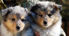 Collie blue merle (puppies)  I ♥ ♥ ♥