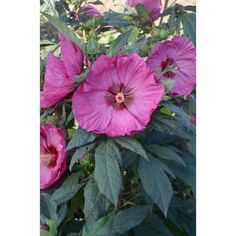 Proven Winners Summerific Berry Awesome Rose Mallow (Hibiscus) Live Plant, Pink Flowers, 3 Gal.
