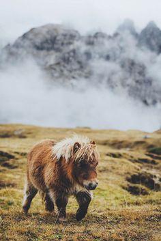 Petit poney des Shetlands en Ecosse ❤️