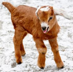 Cutest baby animal ever. Someday I will have my little hobby farm and have a Nubian goat, and then I can make goats cheese! Mini Goats, Cute Goats, Baby Goats, Cute Baby Animals, Farm Animals, Animal Babies, Funny Animals, Miniature Goats, Goat Picture