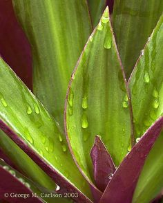 Moses-in-the-cradle, also known as oyster plant, Moses-in-a-boat or Moses-in-the-bullrushes, is an herbaceous perennial with a dense, spreading growth habit. Native to Central America and hardy in USDA zones 9 through 12, the plant cannot tolerate cold temperatures and is typically grown as a houseplant in most of the United States.