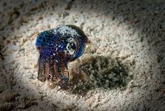 The Small bobtail squid (Euprymna berryi) Photo credit: Sylvain Girardot