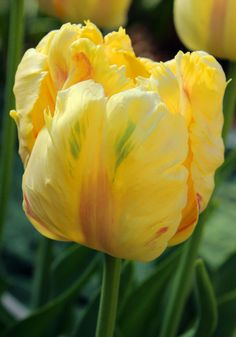 BLONDINE parrot tulip, 1956 – A cool, lightly ruffled flower of pale to deeper yellow subtly feathered with bits of spring green and rose, it won rave reviews from our customers who previewed it this past spring.