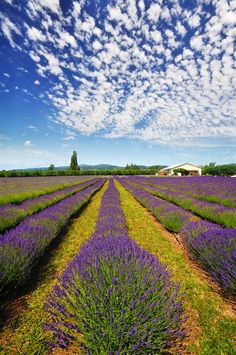 The stunning Lavender Valley of Oregon in the Pacific Northwest