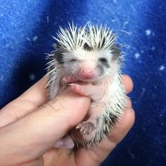 Available baby hedgehogs for sale in Tuscaloosa AL available adult hedgehogs for sale in Alabama Pygmy Hedgehog For Sale, Baby Hedgehogs For Sale, Hedgehog Animal, Cute Hedgehog, Guinea Pig Toys, Guinea Pigs, Animals And Pets, Cute Animals, Homemade Cat Toys