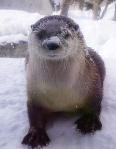 Otter is enjoying the snow.
