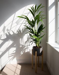 A houseplant in a corner in front of a white wall next to a window with a shadow cast on the wall.