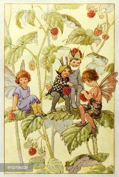 'Raspberries' - Illustration from the book 'The Wild Fruit Fairies' - Wild Fruit Fairies eating raspberries