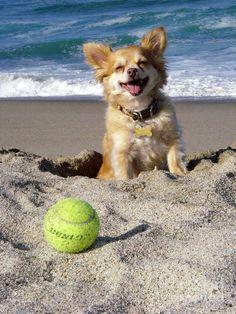 20 raisons de ne jamais adopter un Chihuahua Chihuahua Facts, Long Haired Chihuahua, Chihuahua Puppies, Dogs And Puppies, Chihuahuas, Doggies, Dog Beach, Beach Fun, I Love Dogs
