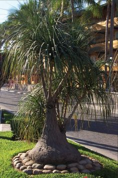 Ponytail palm, croton and dwarf poinciana: ornamental plants and flowers of tropical Mexico : Mexico Living