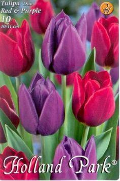 Tulipán Duo- Piros és lila tulipán Holland Park, Purple, Flowers, Plants, Red, Lilac, Plant, Royal Icing Flowers, Flower