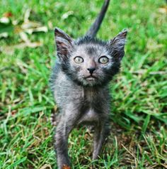 I USED TO BE SCARED OF CATS: Werewolf - Lykoi Cats