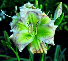 "Little Mucha Minto, Daylily 2.5"" Daylily Floyd Cove Daylilies-2014 Mini collection ordered and Paid for.  To be shipped in Spring 2015"