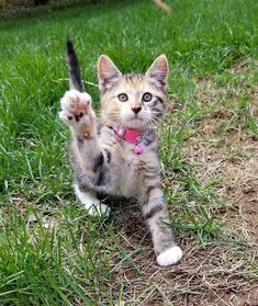tortie Meowsie (hi5 30 photo of the day) #cats #cute #aww #hi5 #kitty #kittens