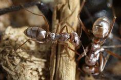 La hormiga plateada del Sáhara (Cataglyphis bombycina), habita en la zona más caliente del desierto de Sáhara a 54 grados
