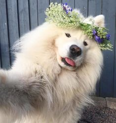 The Next 15 Most Fashionable Samoyed Dogs Samoyed Dogs, Pet Dogs, Dog Cat, Pets, Doggies, Cute Baby Dogs, Cute Puppies, Dogs And Puppies, Baby Animals