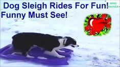 Amazing Dog Sleigh Rides For Fun! Funny Must See!