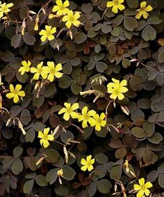 Proven Winners - Zinfandel™ - Oxalis vulcanicola yellow plant details, information and resources. Shade Garden, Garden Plants, Indoor Plants, Patio Plants, Edible Plants, Edible Garden, Moon Garden, Dream Garden, Black Flowers