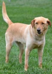 Jiffy Pop is an adoptable Labrador Retriever Dog in Vandalia, OH. To be considered as a potential adopter you must complete an application. NO EXCEPTIONS !! Email us for an application or information ...