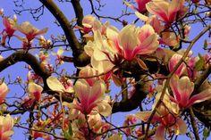 Magnolia SUNRISE 80-100cm C5