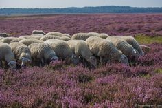 Ginkelse heide, Ede Gelderland The moor in Ede, the place we live. Holland Country, Netherlands Country, Heather Love, Live In The Now, Natural Wonders, Wildlife Art, Pet Birds, Sheep, Dutch