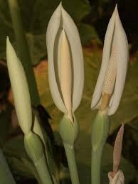 Image result for taro flowers