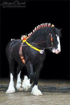 Dressed up Clydesdale Big Horses, Work Horses, Black Horses, Pretty Horses, Horse Love, Beautiful Horses, Animals Beautiful, Cute Animals, Majestic Horse