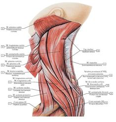Human Muscle Anatomy, Human Anatomy And Physiology, Yoga Anatomy, Anatomy Drawing, Muscular System, Neck And Shoulder Pain, Medical Anatomy, Bones And Muscles, Body Systems