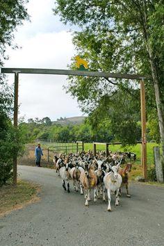 Harley Farms Goat Dairy, Award Winning Goat Cheese, Farm Dinners & Goat Tours, Pescadero, CA Alpine Goats, Future Farms, Goat Farming, Down On The Farm, Country Farm, Goat Cheese, Farm Life, Farm Animals, Summer Fun