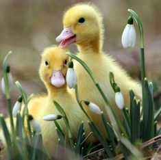 BABY DUCKLINGS.... UH-DORABLE! <3