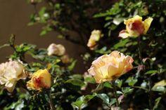 Róża rozkwita