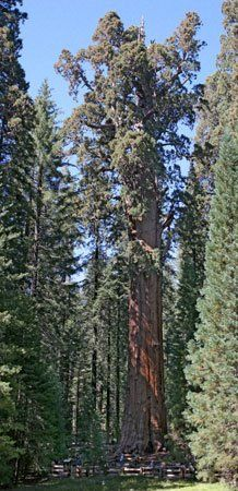 General Sherman Tree, the largest tree in the world.